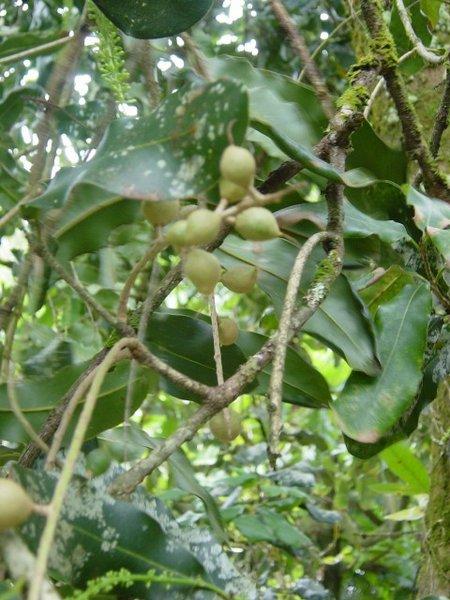 Macadamia_integrifolia